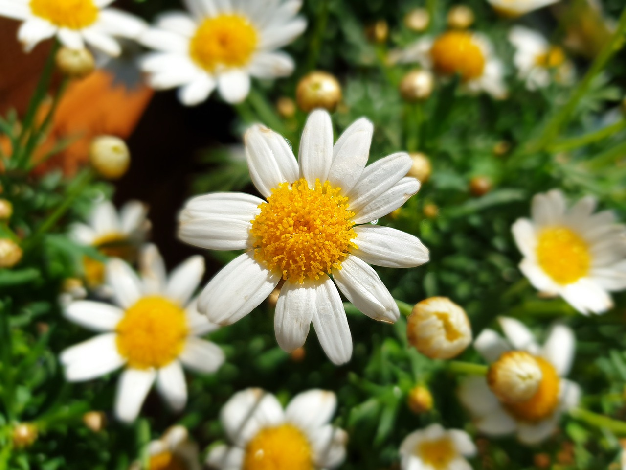 daisy-4460972_1280